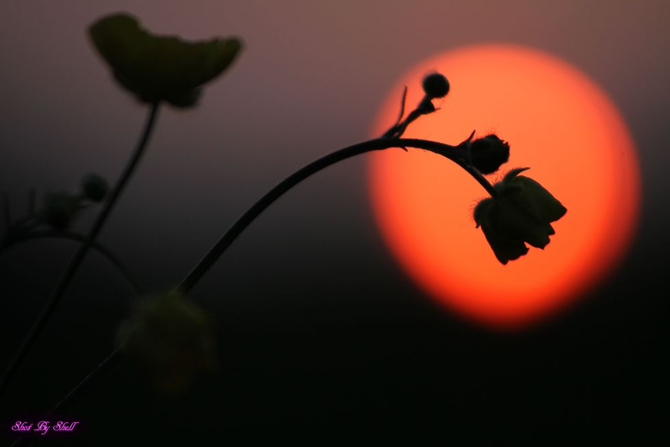 shot by shell photography with setting sun and buttercup silhouette